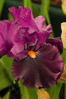 Iris Garnet Slippers purple lavender red with orange beard