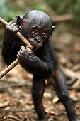 Bonobo male baby aged 10 months playing with a stick (Pan paniscus), Lola Ya Bonobo Sanctuary, Democratic Republic of Congo.