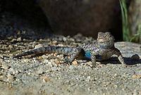 425900030 a wild great basin fence lizard sceloporus occidentalis longipes near keogh hot springs inyo county california