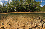 Split level of a shallow coral reef and mangroves with an abundance of leather corals. North Raja Ampat, West Papua, Indonesia