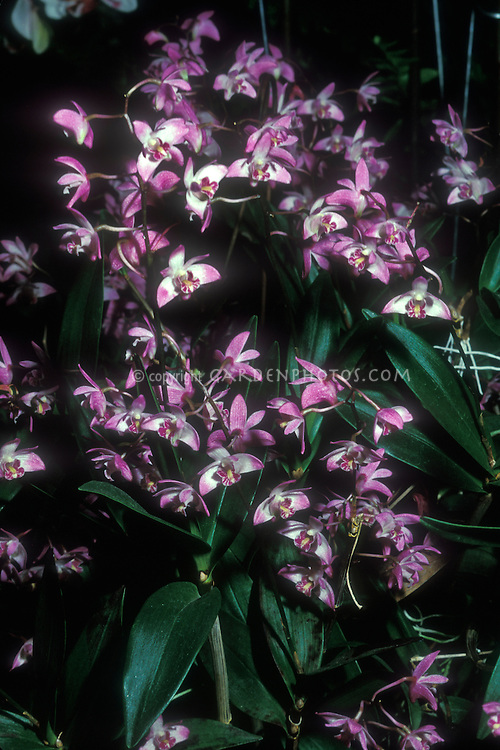Dendrobium kingianum Orchid Species