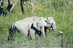 Asian Elephants, Elephas maximus, two adults feeding on grass by river edge, Kaziranga National Park, Assam, India, World Heritage & IUCN Category II Site, 2, water.India....