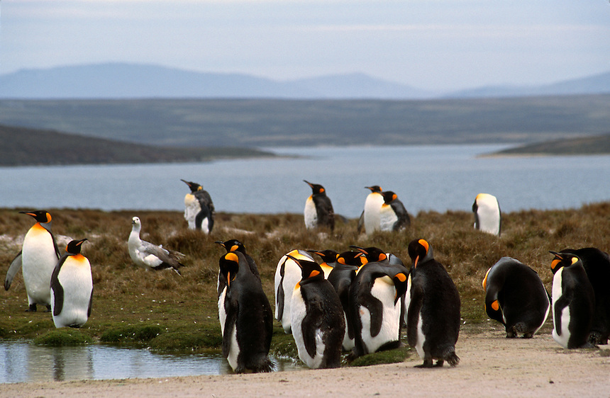 A rookery of king penguins on the Falkland Islands.