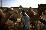 "An Sudanese working as an interpreter for the US Army communes with camels belonging to Sheik Ahmed B. Abureeshah at his home on the outskirts of Ramadi on Monday May 21, 2007. Sheik Ahmed along with his brother and other local tribal leaders are responsible for the creation the ""Anbar Awakening"" movement in recent weeks which has been instrumental in the ejecting Al-Qaeda allied insurgents and bringing relative calm to the city."