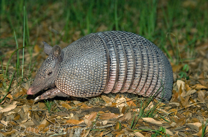 605500017 wild nine banded armadillo dasypus novemcintus digs through leaf litter in the texas hill country for insect prey