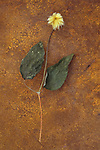 Fluffy white and gold seedhead of Clematis Hagley hybrid on dried long stem with two leaves lying on rusty metal sheet