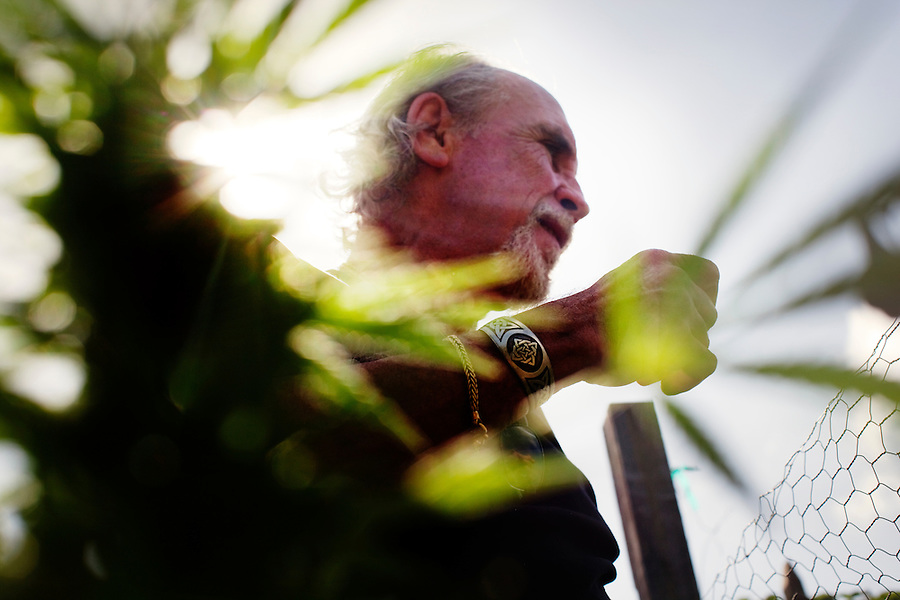 "Laguna Woods, California, October, 26, 2010 -  Lonnie Painter seen through a marijuana plant in his private garden at the community gardens at Laguna Woods Village where he has been a resident for the past eleven years. Painter is also the head of the 100-member marijuana dispensary there named Laguna Woods for Medical Cannabis. ""We do this by the book, to the letter of the law. We are not potheads. We are people with legitimate medical needs."" said Painter. Despite their best efforts, the group has faced some challenges recently. The board that oversees the community recently banned the growing of marijuana in the community gardens, despite the fact that each person has their own fenced and locked garden and the entire compound is surrounded by a chain-linked fence with barbed-wire. ""It's just an excuse to shut this down by a few misguided people,"" says Painter. ""We are all volunteers on the board here. We do this to try to help people in need."" Indeed, many of the purported health benefits of marijuana target problems that typically plague older people, such as chronic shingles, arthritis pain, and symptoms of multiple sclerosis and cancer, such as loss of appetite, chronic pain and nausea. California's Compassionate Use Act, passed in 1996, allows people with a prescription to use and cultivate medicinal marijuana. ."