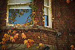 Autumn in Ireland, 2012: Ivy in Autumn colors grows around the window of a red brick house