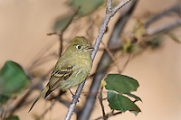 530040006 a wild cordilleran flycatcher empidonax occidentalis perches on a dead branch on mount lemmon near tucson arizona united states