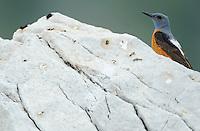 Water pipit, Anthus spinoletta, The Ignoussa mountains, Lake Kerkini, Macedonia, Greece