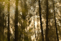 Golden forest reflections and ripples.