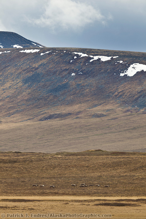 Caribou on the tundra, Brooks range, National Petroleum Reserve, Alaska.