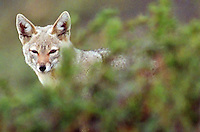 A Patagonian gray fox patrols the grasslands at Torres del Paine National Park in southern Chile. (Kevin Moloney for the New York Times)