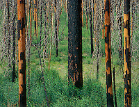 749220111 burned trees line the road to point imperial on the north rim of grand canyon national park arizona