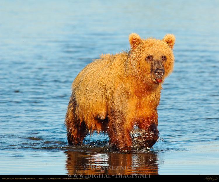 Alaskan Coastal Brown Bear, Golden Female at Sunset, Silver Salmon Creek, Lake Clark National Park, Alaska