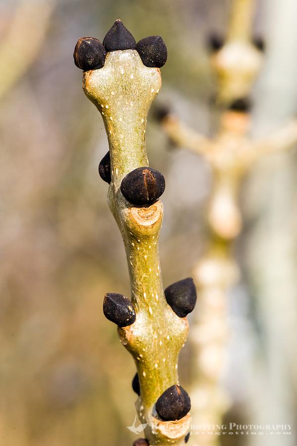 Norway, Stavanger. Common Ash seeds.