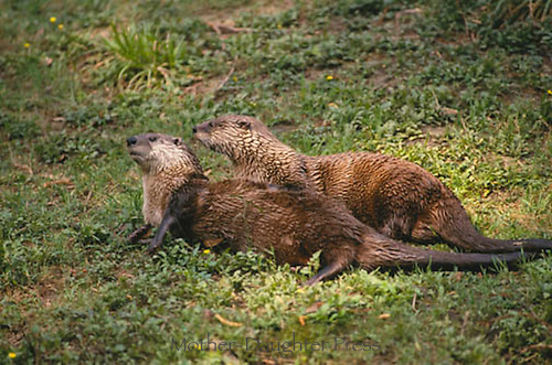 Two Northern river otters, Lontra canadensis, mating