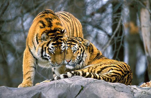 Siberian Tigers (Panthera tigris altaica), Endangered Species.