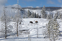 Bison (Bison bison) in snow, Old Faithful area, Yellowstone National Park, Winter, Wyoming, United States of America.