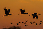 Sandhill Cranes flying in sunset colors
