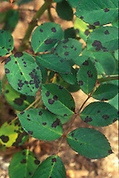 Plant disease black spot fungal on rose foliage leaves caused by Diplocarpon rosae