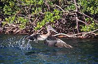 Pelican in the mangroves<br /> St. John<br /> U.S. Virgin Islands