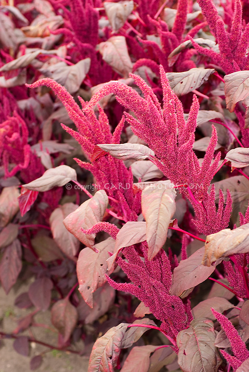Amaranthus cruentus 'Velvet Curtains' TN21
