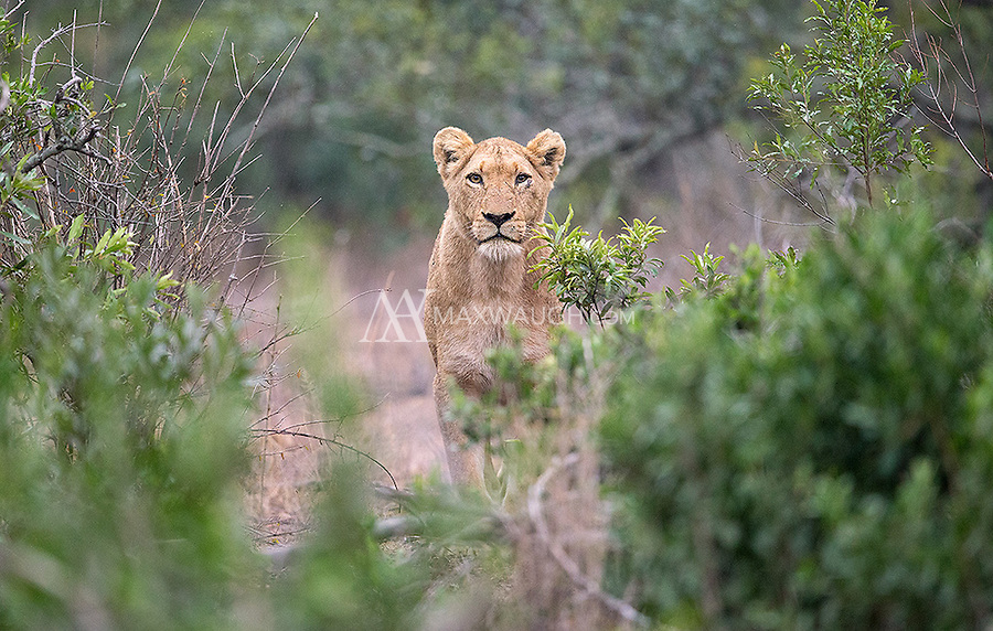 In Kruger we encountered a very large lion pride, over twenty strong.