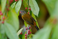A female Scarlet-rumped (Cherrie's) Tanager, Ramphocelus costaricensis, feeding on berries; La Selva, Costa Rica