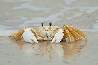 Florida's ghost crab - the Atlantic ghost crab (Ocypode quadrata) is frequently seen along white sandy beaches, usually in association with sea oats, where the burrows can be found where the sea oats meet the open beach, well above the high-tide mark.
