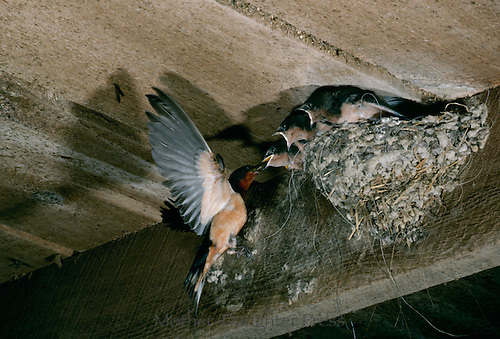 Mother barn swallow, Hirundo rustica, perches on the edge of her nest to feed nestlings, Missouri USA