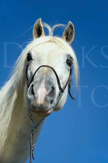 White horse with funny hair style as blown by the wind, unusual silly joke image.