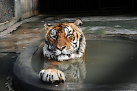 Tigers #100 that has a paralysed neck in a cage at the Xiongshen Tiger and Bear Park in Guilin China. The park has farmed 1500 tigers and sells an illegal tiger bone wine to tourists that visit the park.