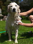 Young woman giving her Golden Retriever a bath in a back yard