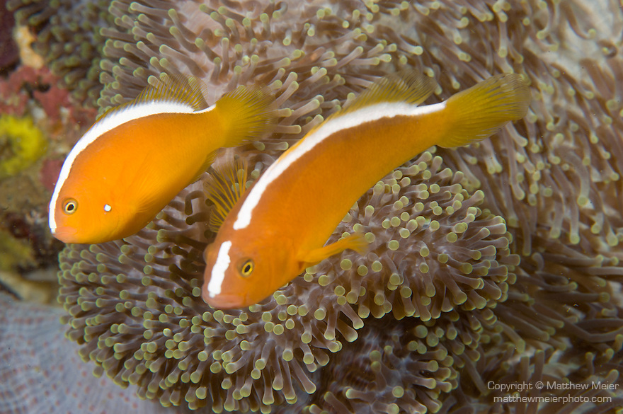 Anilao, Philippines; a pair of Orange Anemonefish (Amphiprion sandaracinos) in a Merten's Anemone