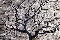 an infrared image from Hawaii of a Monkeypod tree.