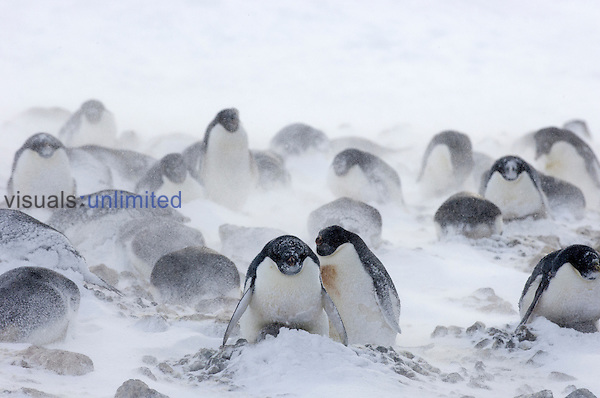 Adelie Penguins shelter their nests during a snowstorm at Cape Crozier, Antarctica.