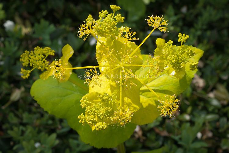 Smyrnium perfoliatum in early spring bloom