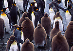 king penguins, brown coats, South Georgia Island