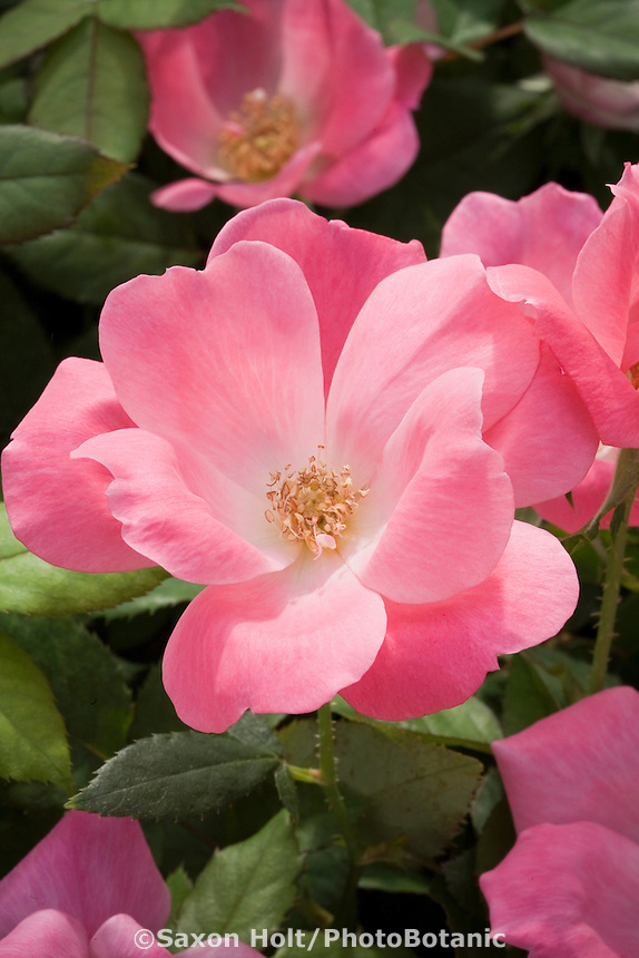 Rose 'Pink Knock Out'