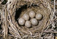 Schilfrohrsänger, Ei, Eier, Gelege im Nest, Schilf-Rohrsänger, Rohrsänger, Acrocephalus schoenobaenus, sedge warbler