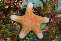 RA75367-D. Granular Sea Star (Choriaster granulatus), to 25cm. Philippines. Tropical Indo-West Pacific oceans.<br /> Photo Copyright &copy; Brandon Cole. All rights reserved worldwide.  www.brandoncole.com