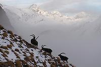 01.11.2008.Alpine Ibex (Capra ibex) in alpine landscape..Gran Paradiso National Park, Italy