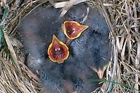 Wiesenpieper, bettelnde, sperrende Küken im Nest, Wiesen-Pieper, Anthus pratensis, meadow pipit