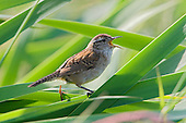 Marsh Wren (Cistothorus palustris) perched and singing on Cattails, Victoria, British Columbia, Canada.