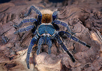 Greenbottle Blue Tarantula (Cromatopelma cyaneopubescens) captive, native to Venezuela.