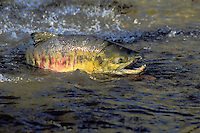 "CHUM SALMON aka ""dog"" salmon..Range from California to Arctic Coast..Migration to fresh water spawning grounds..(Oncorhynchus keta)."