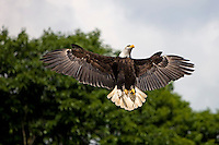 Bald Eagle in flight (Haliaeetus leucocephalus)