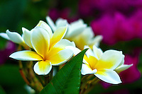 White and yellow plumeria in the forground, purple bougainvillea out of focus in the background.