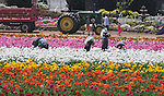CARLSBAD FLOWERFIELDS ESSAY